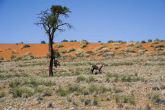 De antilope van Oryx in Wolwedans, Namibië Royalty-vrije Stock Fotografie