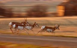 De Antilope van Pronghorn Stock Fotografie