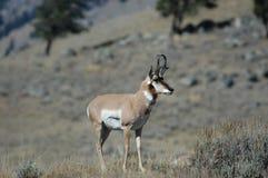 De Antilope van Pronghorn Stock Foto's