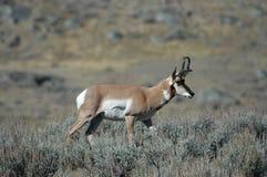 De Antilope van Pronghorn Royalty-vrije Stock Foto's