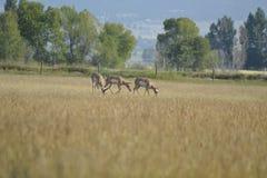 De Antilope van Pronghorn Royalty-vrije Stock Foto