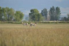 De Antilope van Pronghorn Royalty-vrije Stock Afbeeldingen