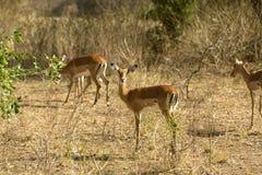 De Antilope van Rwanda Royalty-vrije Stock Afbeelding