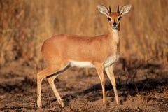 De antilope van Steenbok Stock Afbeeldingen