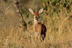 De antilope van Steenbok royalty-vrije stock fotografie
