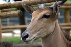 De antilope van Taurotragus oryx. Stock Foto's