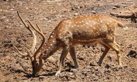 De antilope weidt vrij in Israël stock foto's