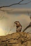 De antilopeeekhoorn van Harris Stock Afbeeldingen
