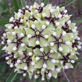 De antilopehoorn milkweed Stock Foto's
