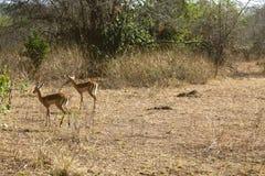 De antilopen die hun habitat wandelen Royalty-vrije Stock Afbeeldingen
