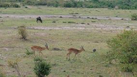 De antilopen Thomson gaan achter elkaar in de struiken in de Afrikaanse savanne stock videobeelden