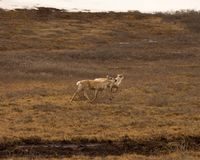 De antilopen van Alaska langs de weg van Dalton stock foto
