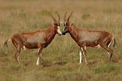 De antilopen van Blesbok Royalty-vrije Stock Afbeelding