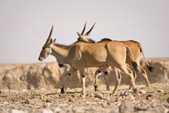 De antilopen van de elandantilope Stock Fotografie
