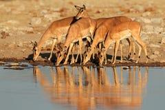 De antilopen van de impala bij waterhole Stock Afbeeldingen