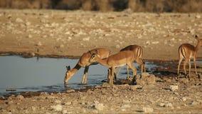 De antilopen van de impala bij waterhole stock footage