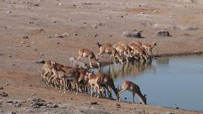 De antilopen van de impala bij waterhole stock videobeelden