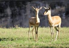 De antilopen van het paar Stock Foto's