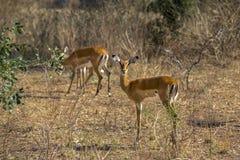 De Antilopen van Rwanda Stock Foto's