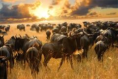De antilopen van Wildebeest in de savanne Stock Afbeeldingen
