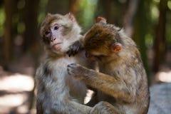 De apen die van Barbarije elkaar verzorgen Stock Afbeeldingen