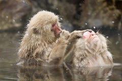 De apen die van de sneeuw in de hete lente verzorgen Royalty-vrije Stock Afbeeldingen