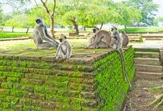 De apen in tuin Stock Afbeeldingen
