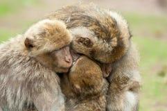 De Apen van Berber royalty-vrije stock foto's