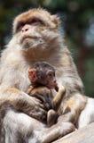 De Apen van Berber royalty-vrije stock foto