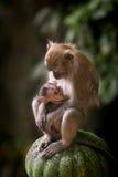 De Apen van Macaque Royalty-vrije Stock Afbeeldingen