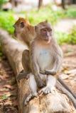 De apen van Macaque in Thailand Stock Afbeeldingen