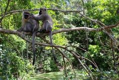 De apen van Vervet Royalty-vrije Stock Fotografie