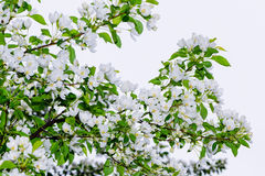 De appel-boom bloesems Een tak royalty-vrije stock afbeelding