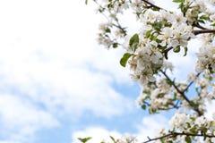De appel-boom van bloemen royalty-vrije stock afbeeldingen