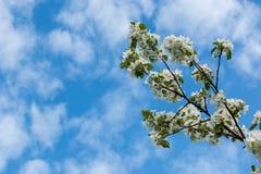 De appel-boom van bloemen royalty-vrije stock afbeelding