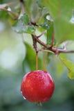 De appel van het paradijs Stock Afbeeldingen