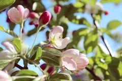 De appelbloemen van de lente Royalty-vrije Stock Foto