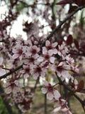 De appelbomen zijn tot bloei gekomen royalty-vrije stock afbeeldingen