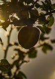 De appelboom Stock Afbeelding