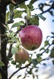 De appelboom Royalty-vrije Stock Fotografie