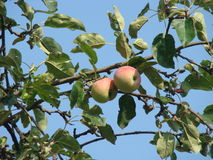 De appelboom in de werf Stock Afbeelding