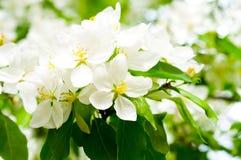 De appelboom van de bloesem Royalty-vrije Stock Afbeeldingen