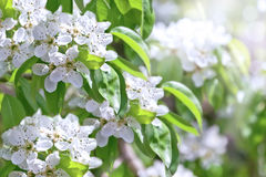 De appelboom van de bloesem Stock Foto