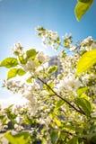 De appelboom van de bloesem Stock Afbeelding