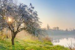 De appelboom van de de lenteaard bij zon Stock Afbeelding