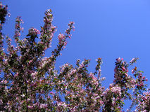 De appelboom van de lente in bloeiprentbriefkaar Royalty-vrije Stock Foto's
