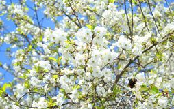De appelboom van Flovers stock foto's