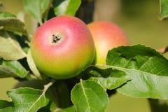 De appelboom van KroonprinsRudolf (Kronprinz Rudolf) met fruit in Oostenrijk Stock Afbeelding