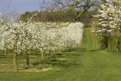 De appelboomgaarden van de bloesem Royalty-vrije Stock Afbeeldingen