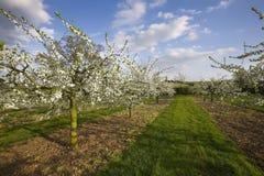 De appelboomgaarden van de bloesem Stock Afbeeldingen